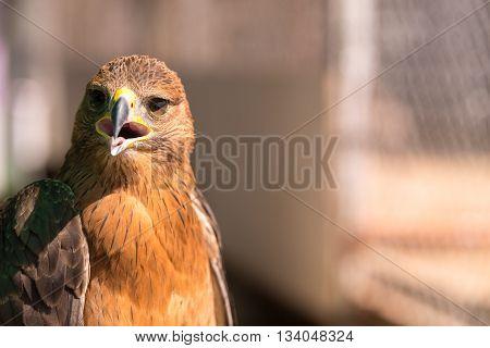Golden Eagle, wildlife animal, wildlife falcon in UAE
