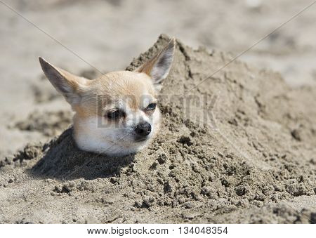 chihuahua buried in the sand on a beach