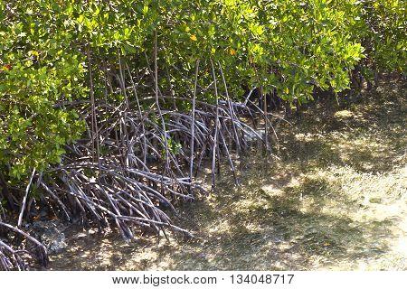 mangroves in the keys grew at the sandbank in the ocean