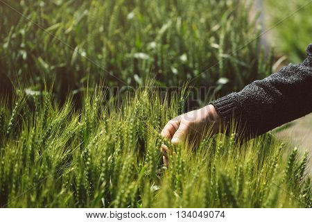 Male hand in wheat field farmer examining wheat ears in cultivated field