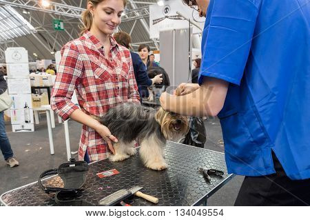 MILAN ITALY - JUNE 12: Dog grooming at Quattrozampeinfiera event and activities dedicated to dogs cats and their owners on JUNE 12 2016 in Milan.