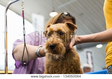 Dog Grooming At Quattrozampeinfiera In Milan, Italy