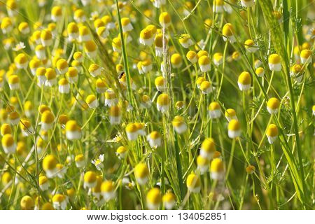 Flowering. Chamomile. Blooming chamomile field. Chamomile flowers on a meadow in summerBlurred background