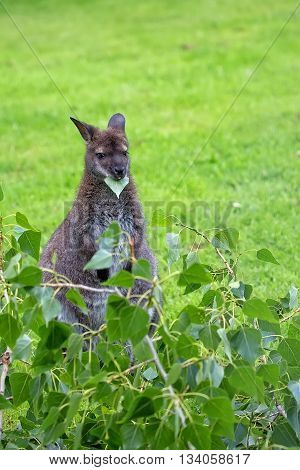 Kangaroo red-necked wallaby in a clearing in the wild