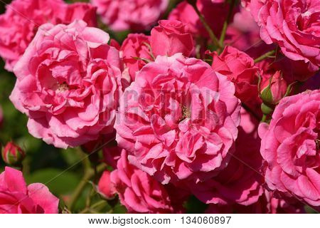 Beautiful pink roses in garden close up