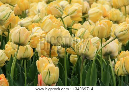 Pretty bed, showing off the soft color of yellow tulips in backyard garden.