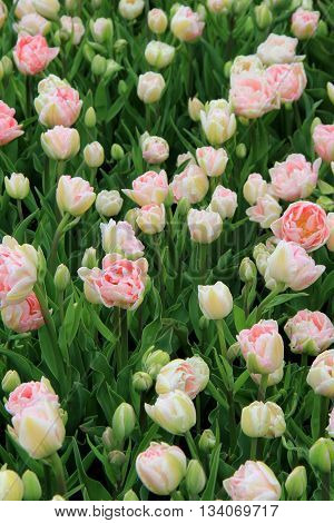 Breathtaking image of pink and white striped tulips in Springtime garden.