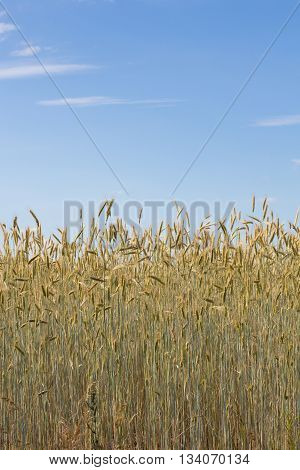 Cereal Field - Wheat Field And Blue Sky