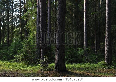 Forest landscape in summer at evening sun.