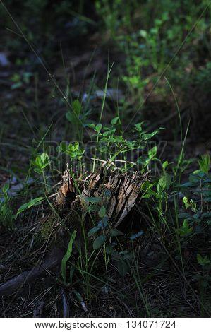 Close up of a rotten tree stumpin evening sun