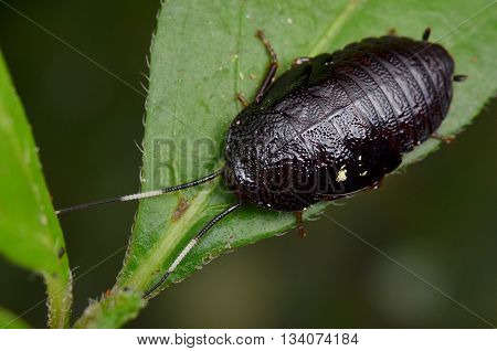 macro shot of a black Jungle Roach