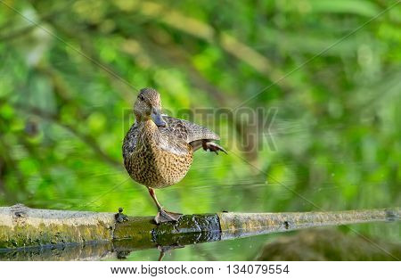 Female mallard duck stay on one leg on a Log in a Lake and quacking