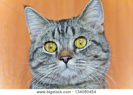 Photo of cat portrait with yellow eyes
