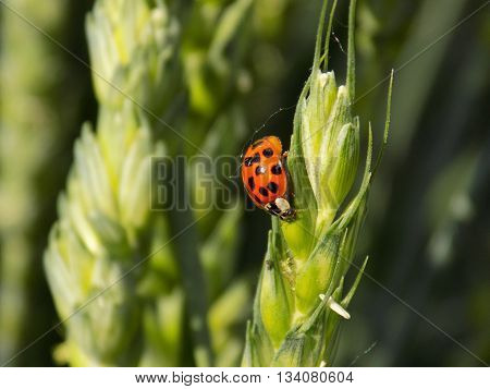 Ladybug on immature barley ear on field during summer