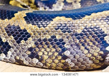 Photo of real boa snake python skin texture close up