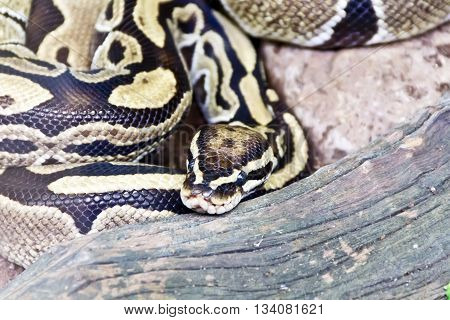 Photo of reticulated python close up in zoo