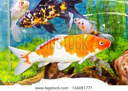 Photo of fish Cyprinus carpio koi in aquarium