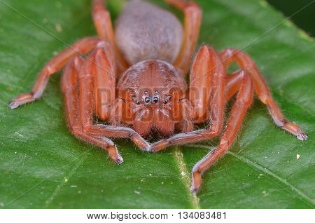 close up shot of a Huntsman spider