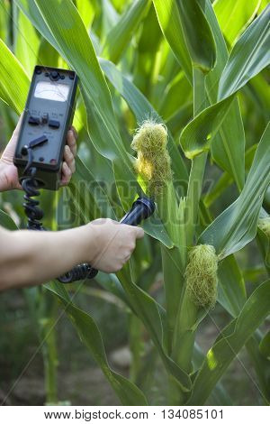Measuring radiation levels of maize in the corn field