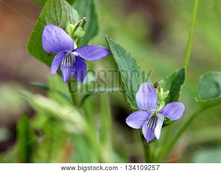 Violet flower Viola odorata in a forest, spring, Moscow, Russia