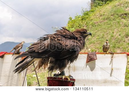 Disheveled eagle sits among other birds of prey in the mountains in summer.