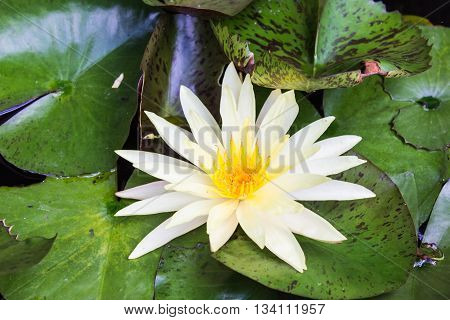 white lotus flower , beauty in nature