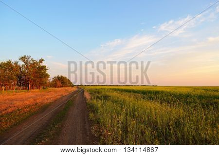 Yellowish green field with the blue sky and clouds оn the sunset.