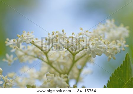 Fresh Elderflower In Garden