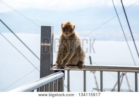 Closeup of a barbary macaque on Gibraltar