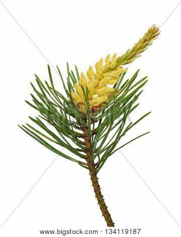 Pine (Pinus sylvestris) branch isolated on white background