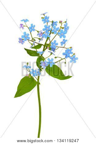 Forget-me-not flower isolated on a white background