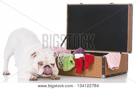 white english bulldog bowing beside a open suitcase full of clothing