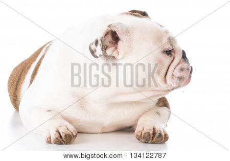 english bulldog laying down on white background