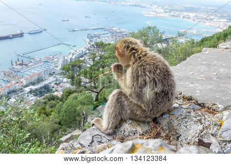 Barbary Macaque watching over the Gibraltar skyline