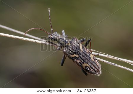 Two-banded longhorn beetle (Rhagium bifasciatum) hanging onto grass stems.