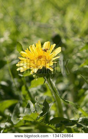 Field of dandelions. First spring flowers - yellow dandelion. Shallow depth of field