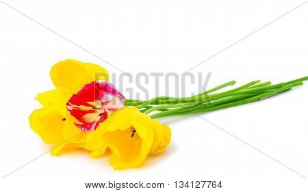 spring flower tulips isolated on white background