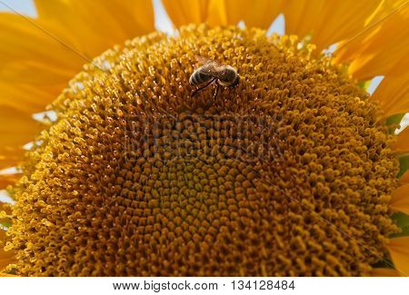 blooming sunflower and a bee collecting nectar