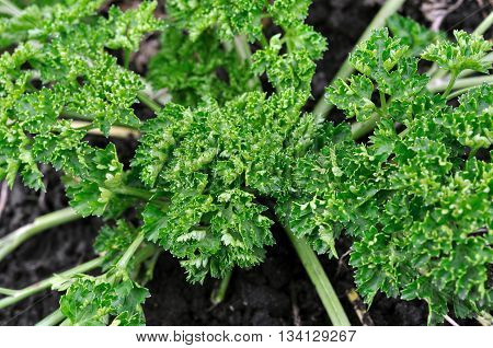 green parsley growing in the vegetable garden (high angle view)