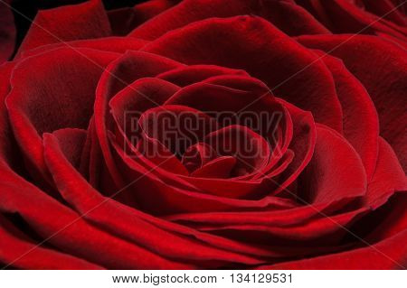 Rose bud with velvety dark red petals, macro shot of flower, nature background