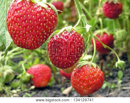 close-up of ripe strawberry in the vegetable garden
