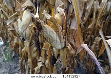 An ear of corn on a corn plant in a cornfield, prior to harvest during October, in Plainfield, Illinois.