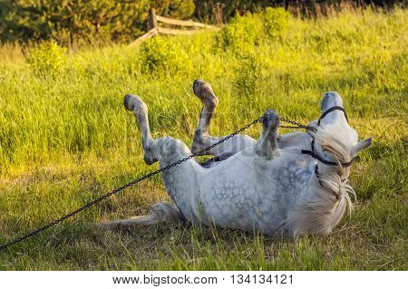 Beautiful white horse lying in green grass rolling in chains