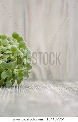 Young plants of mustard seedling in pot lying on wooden background. Place for text