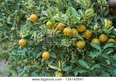 Small orange tree in orange farm chiangmai,thailand