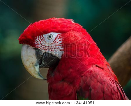 Close up shot of Scarlet Macaw (Ara Macao)