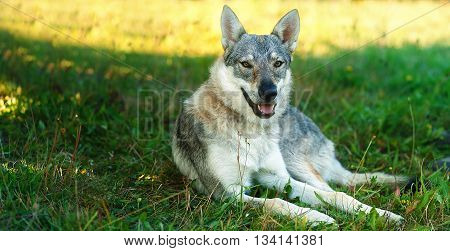domesticated wolf dog resting relaxed on a meadow. Czechoslovakian shepherd. Eye contact
