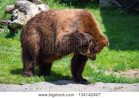 Grizzly bear (Ursus Arctos) scratching it's head