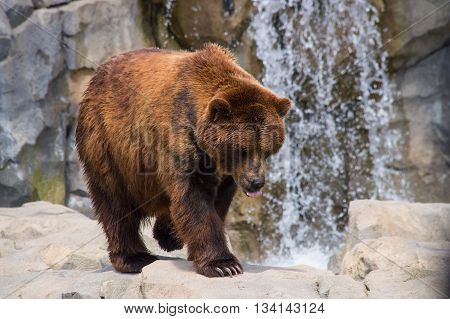 Grizzly bear (Ursus Arctos) walking by the watefall