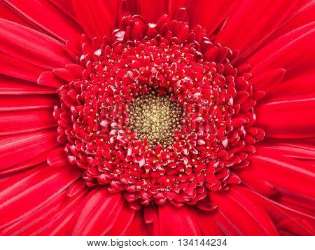 Yellow Center Of Red Gerbera Flower Close Up